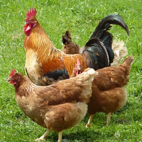 Не будьте курицей - прогнозируйте ситуацию